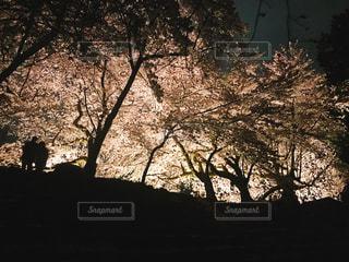 自然,花,春,桜,カップル,夜桜,お花見,滋賀県