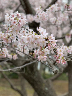 桜,早咲きの桜,玉縄桜