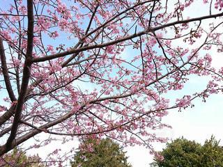 桜,綺麗,花見,快晴