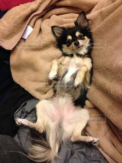 犬,動物,チワワ,ブラックタン,舌,お腹,へそ天,ひっくり返る