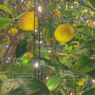 植物,黄色,イルミネーション,イエロー,色,横浜市,神奈川県,はっさく,八朔,yellow