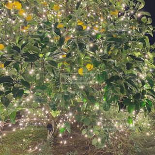 植物,黄色,果物,イルミネーション,横浜,イエロー,カラー,色,はっさく,八朔,yellow