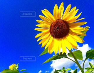 空,花,夏,ひまわり,草木