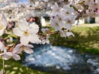 花,春,桜,草木,桜の花,さくら,ブロッサム