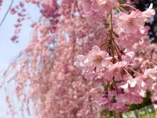 花,ピンク,景色,桜の花