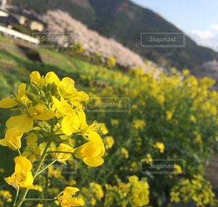 春,黄色,菜の花,お花見,お散歩
