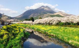 自然,風景,桜,川,菜の花,反射,お花見,お散歩