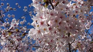 自然,春,桜,ピンク,綺麗,お花見,アップ,快晴
