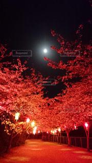 春,桜,夜,赤,夜桜,お花見,点灯,月