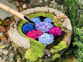 紫陽花の花手水の写真・画像素材[2267475]