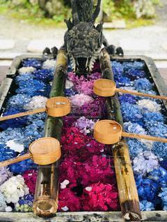 龍の炎は紫陽花の写真・画像素材[2267491]