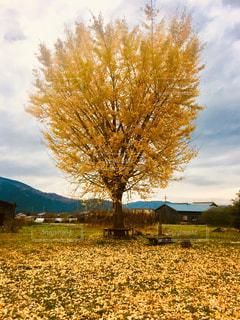 銀杏の紅葉の写真・画像素材[2555572]
