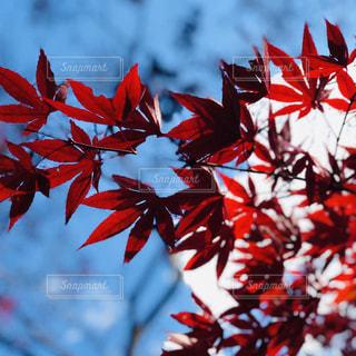 紅葉と空の写真・画像素材[2555652]