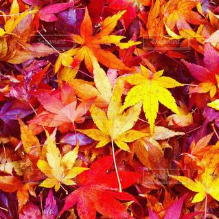 落ち葉の紅葉の写真・画像素材[2569944]