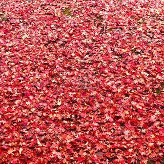 紅葉の絨毯の写真・画像素材[2569952]