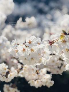 桜のクローズアップの写真・画像素材[3033556]