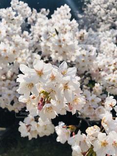 花,花見,花びら,満開,お花見,桜の花,さくら