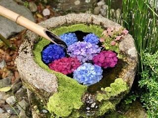 鮮やかな紫陽花の写真・画像素材[3439012]