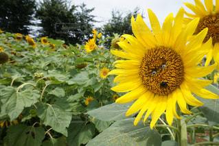 夏,ひまわり,かわいい,黄色,鮮やか,目,フォトジェニック,インスタ映え