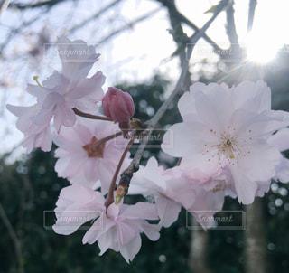 春,花見,光,八重桜,桜の花