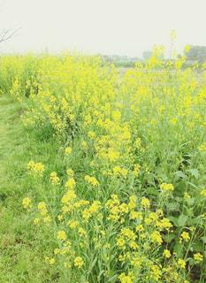 春,黄色,菜の花,幸せ,菜の花畑,yellow