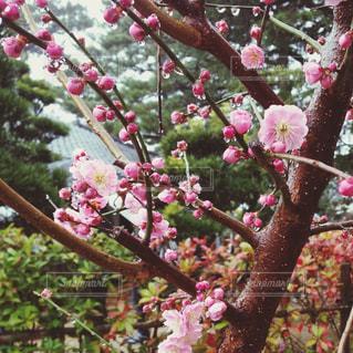 春,雨,ピンク,梅,花見,雫,梅見,雨の中