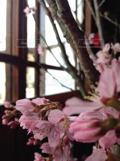 桜,室内,光,お花見,和
