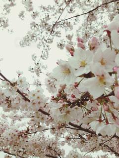 桜,白,光,お花見,曇り空,蕾,花曇り