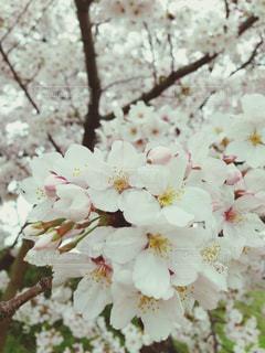 桜,白,お花見,蕾,花曇り