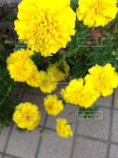 花,屋外,黄色,並ぶ,ぽんぽんと