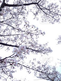 桜,屋外,白,枝,お花見,曇り空,ライン,花曇り