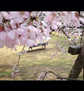 花,桜,屋外,ベンチ,お花見,こっそり,さくら