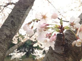 花,桜,屋外,光,お花見,昼間,さくら,薄紅色