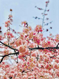 春,サクラ,満開,お花見,東京都,上野公園,名所,Sakura,3.11,さくら,開花,ブロッサム,早桜,2019