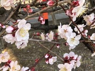 春,梅,お花見