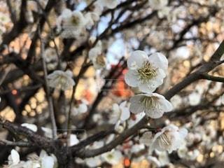 花,春,屋外,梅