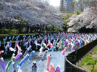 桜とこいのぼりの写真・画像素材[1885309]