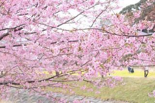 春,桜,ピンク,花見,河津桜,3月,桜の花,さくら