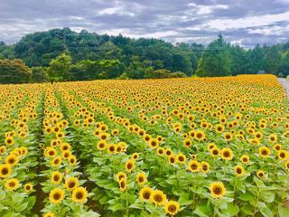 空,花,夏,お花畑,屋外,ひまわり,黄色,田舎