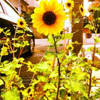 花,ひまわり,黄色,路地,yellow