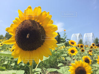 花,夏,ひまわり,黄色,鮮やか,向日葵,蜂,イエロー,ひまわり畑,summer,サマー,色,黄,蜜蜂,yellow,はち,みつばち,多彩