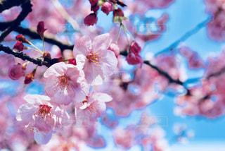 花,春,枝,鮮やか,カラー,桜の花,さくら,ブロッサム