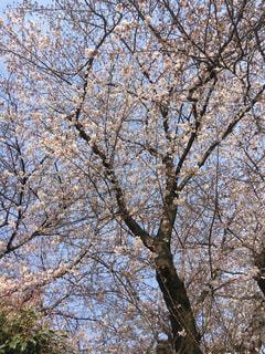 自然,風景,空,公園,春,森林,屋外,樹木,草木,桜の花,日中,さくら