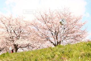 花,春,桜,屋外,桜並木,お花見,晴れた日