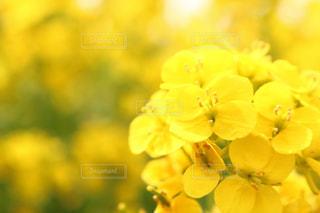 花,春,屋外,黄色,菜の花,鮮やか