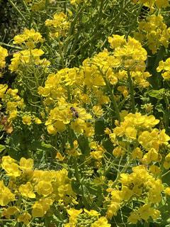 花,春,植物,黄色,菜の花,蜂,暖かい,岡山,黄,ミツバチ,ハチ,花園,笠岡,ベイファーム