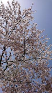 桜,ピンク,白,花見,ライフスタイル