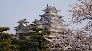 桜,ピンク,白,城,花見,姫路城,ライフスタイル,イベント・行事
