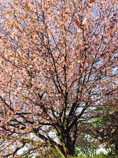 自然,風景,空,公園,春,桜,屋外,植物,景色,樹木,お花見,草木