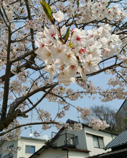 春,桜,ピンク,花見,さくら